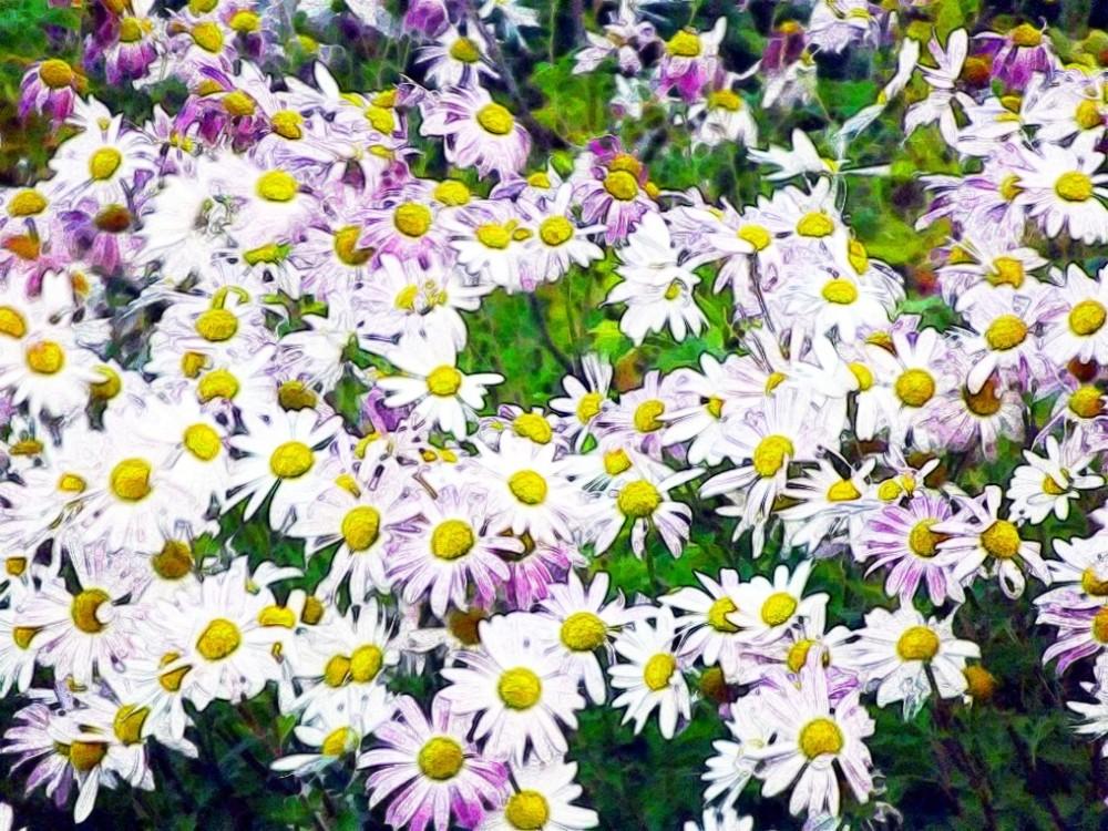 Purple Daisies..