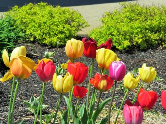 Rainbow Tulips...