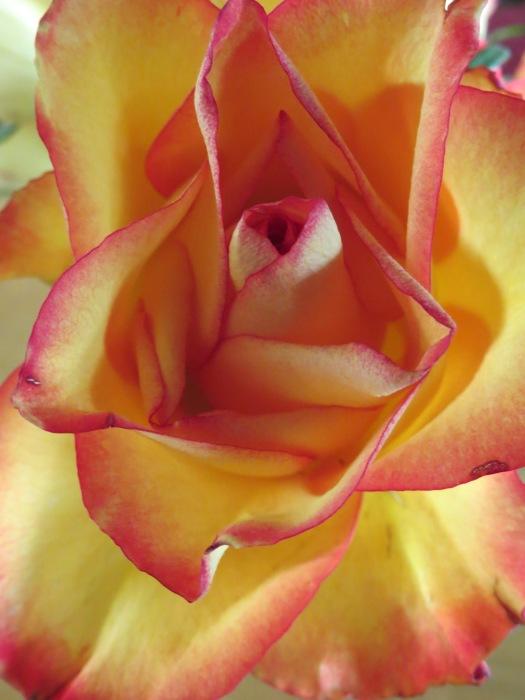 Sunlit Rose...